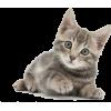 Grey Kitten - Životinje -