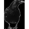 black crow - Illustrations -