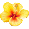 Hibiscus flower illustration - Ilustracije -