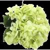 Hydrangea Flowers - Uncategorized -