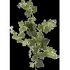 Ivy - Plants -