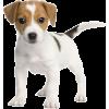Jack Russell Terrier puppy - Animals -