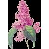 Jorgovan - Растения -