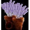 Lavanda - Plantas -