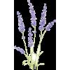 Lavender - 植物 -