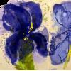 Les Iris - Illustrations -
