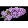 Lilac - Rośliny -