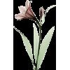 Lily - Plants -