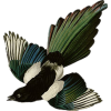 Magpie - Animals -