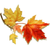 Maple leaf - Rastline -