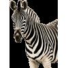 Zebra - Animais -