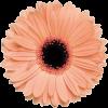 PEACH Gerbera Flower - Predmeti -