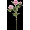 PEONIES PINK - 植物 -