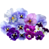Pansies - Plants -
