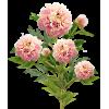 Peony Tree - Plantas -