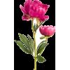 Peony - Plants -