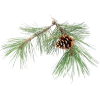 Pine and Cone - Plants -
