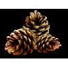 Pinecone - Plants -