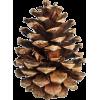 Pine cone - Plants -