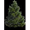Pine tree - Plantas -