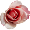 Pink Rose - Plants -