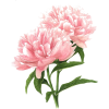 Pink flowers - Plants -