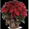 Poinsettia - Biljke -