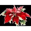 Poinsettia - Pflanzen -