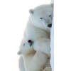 Polar Bear - Animali -