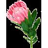 Protea - Plants -
