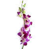 Purple Dendrobium Orchids  - Plants -