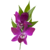 Purple Orchid - 植物 -