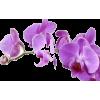Purple Orchid - Piante -