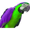 Purple and Green Parrot - Animali -