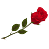Red rose - Pflanzen -
