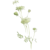 Queen Anne Lace Flower - Plants -