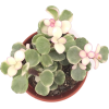 Rainbow Bush - Plants -