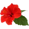Red Hibiscus Flower - イラスト -