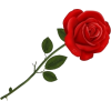 Red Rose - Uncategorized -