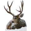 Reindeer - Animals -