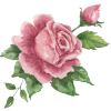 Rose  - Ilustrationen -
