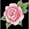 Rose  - イラスト -
