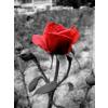 Rose - Background -