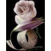 Rose Beige - Plants -