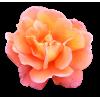 Rose - Rośliny -