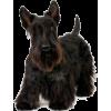 Scottish terrier - Animals -