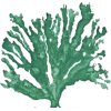 Seaweed - Illustrations -