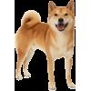 Shiba Inu - Animals -