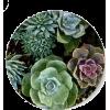 Succulent - Plants -