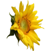 Sunflower - 植物 -
